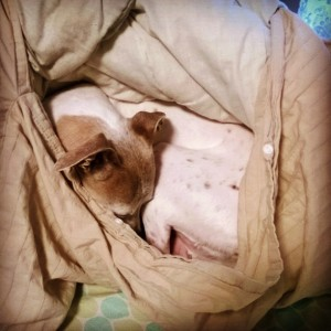 Under the covers? No no, Italian greyhounds burrow INSIDE the…